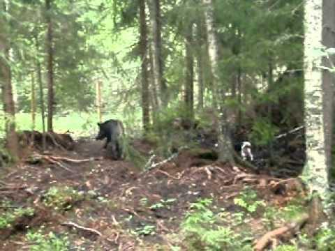 Beagle som jagar vildsvin
