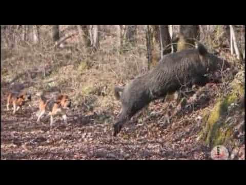 엽총으로 멧돼지 포획 영상[사냥,수렵]