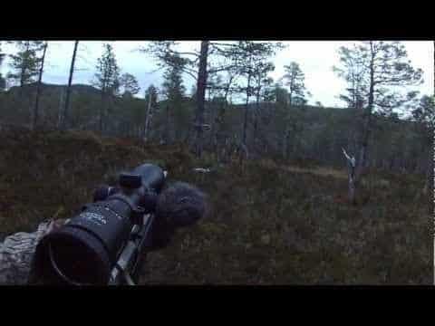 hjortejakt ,bukk skutt under morgenpostering