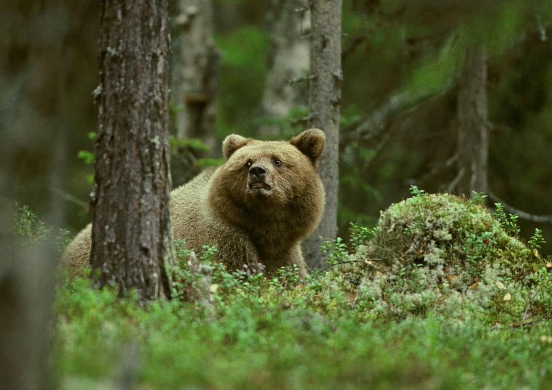 Björnjakt vid Taberg / Bear hunting in Taberg