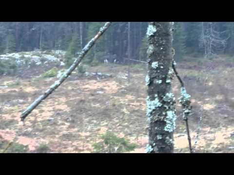 Petit Basset Griffon Vendeen (Billy) hunting moose