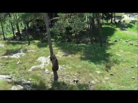 Björn som klättrar snabbt i träd