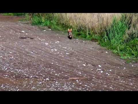 Locka räv / rävlock / attract fox