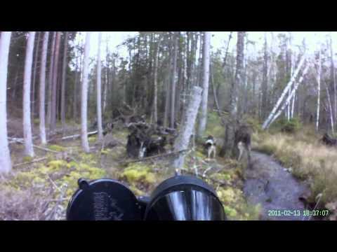 Älgattack i Småland/Moose attack in southern Sweden [HD]