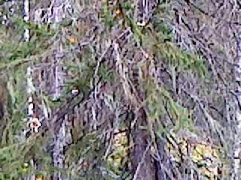Trädskällare