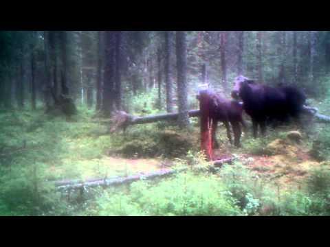 Film på älgar som jagas av varg