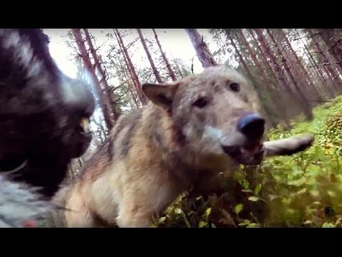 Vargar attackerar jämthundstiken Klara (wolves attack hunting dog)