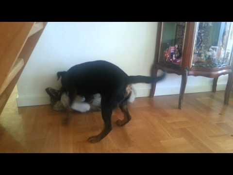 Morgonbråk tysk jaktterrier vs gråhundsvalp