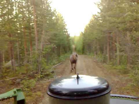 björn jagar älg i bredträsk