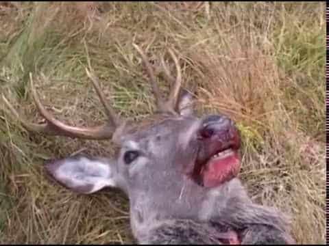 Slakting og partering av hjort ute i felt
