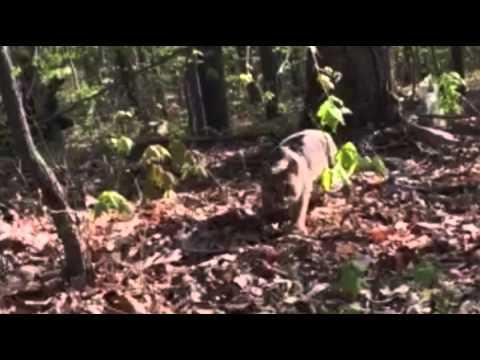 Se när lodjur attackerar jägare
