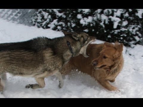 Most Vicious Wolf Attacks on Dogs