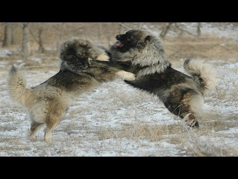 Caucasian Shepherd Dog vs Wolf