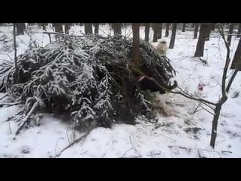 Tax jagar ut stort vildsvin ur rishög