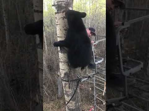 Svartbjörn klättrar upp till jägare