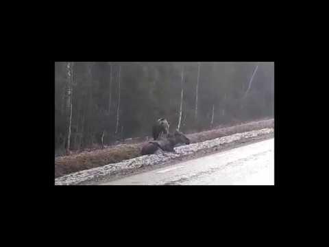 Vuxen älg dödas av björn