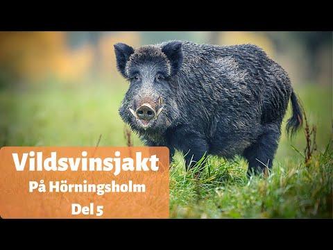 Vildsvinsjakt på Hörningsholm del 5 – Det bästa från svensk jakt 2020
