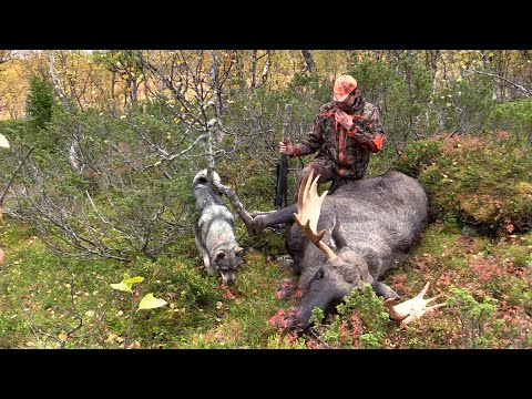 Jakt med Jämthund 4